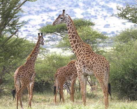 imagenes de jirafas comiendo hojas un pu 241 ado de genes explica c 243 mo la jirafa lleg 243 a tener un
