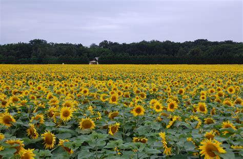 sunflower fields file field of sunflowers jpg wikimedia commons