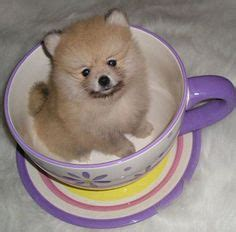 pomeranian puppies for sale in orlando florida chow chow puppies for sale in florida baby animals chow chow for