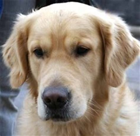 golden retriever kidney disease toxic foods for dogs dangerous foods for dogs