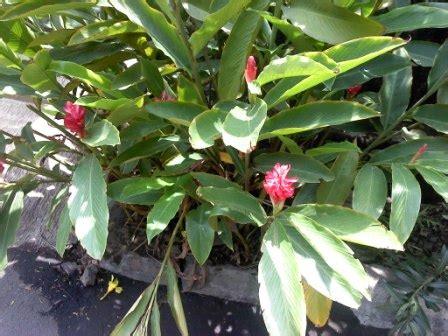 Tanaman Honje 7 bunga berwarna merah dan penataan pada taman majalah arsitektur lansekap