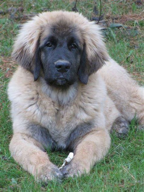leonberger puppies ohio 187 best images about leonbergers on beautiful dogs and newfoundland