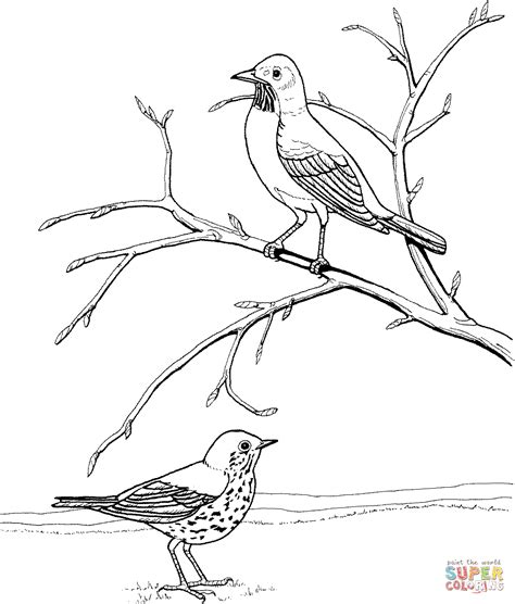 coloring page of a robin american robin and wood thrush coloring page free
