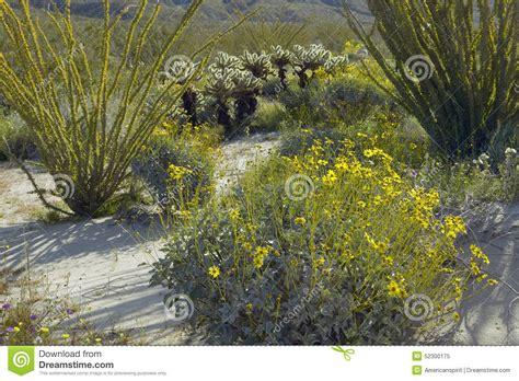 anza borrego desert flowers ocotillo in bloom anza borrego desert ca royalty free