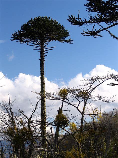araucaria araucana wikispecies