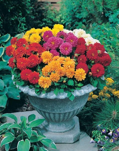 15 Benih Bunga Mix 1 jual benih seed grosir ecer tanaman hias bunga dahlia