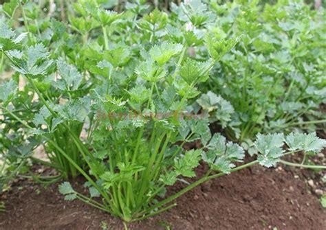 Benih Sayur Seledri seledri untuk penyedap makanan hingga pembersih ginjal