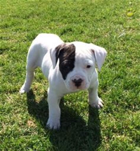 amish puppies for sale 1000 ideas about american bulldog breeders on american bulldogs american