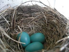 what color is a robin bird egg and nest identification the birders report 2016