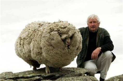 haircut sheep games chris the world s woolliest sheep gets a much needed