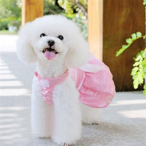 cute white cute white poodle puppy www imgkid com the image kid