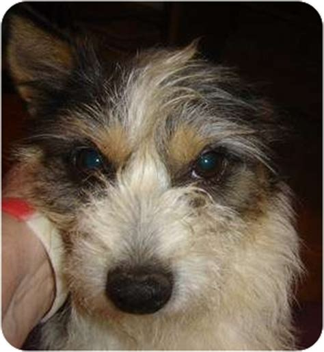 fox terrier yorkie mix prince adopted owingsville ky yorkie terrier wirehaired fox