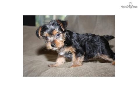 yorkie puppies for sale in modesto ca terrier yorkie for sale for 600 near modesto california c0f0750e d6e1