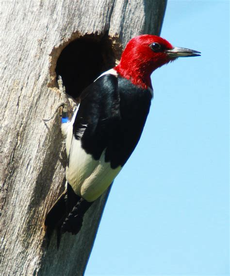 red headed woodpecker red headed woodpecker pictures baby red headed woodpecker