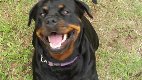 are rottweilers running partners intruder jumps fence stock footage 2962663