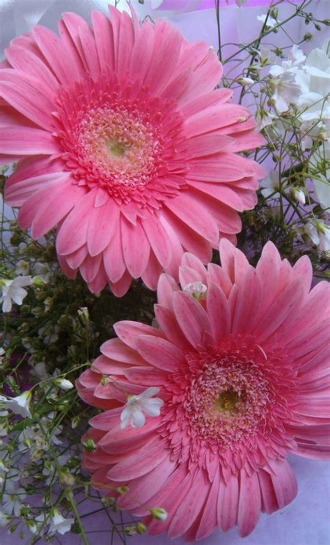 Is Pink This Year by Pink Gerberas Flowers Garden I Want Some Of These For