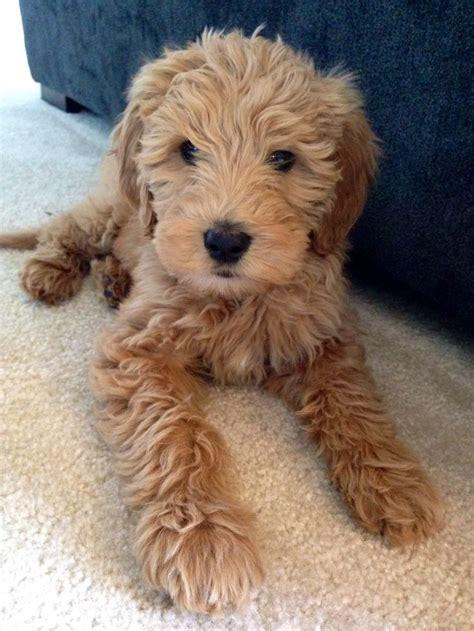 goldendoodle puppy tricks 25 b 228 sta golden noodle id 233 erna p 229