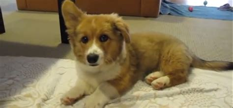 puppy with hiccups biscuit the corgi puppy has hiccups i pets