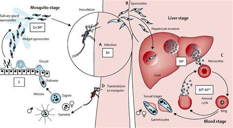 pathophysiology of malaria diagram malaria the lancet
