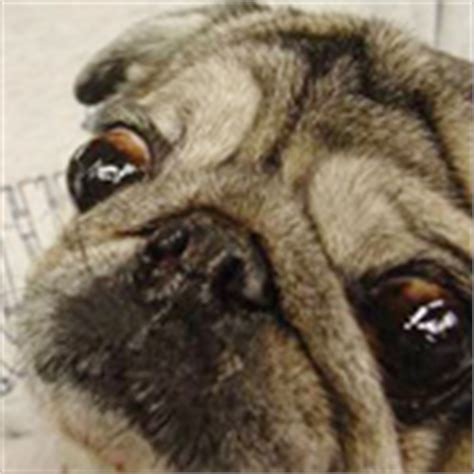 pug eye pop the pug an exle of exaggerated features rspca australia