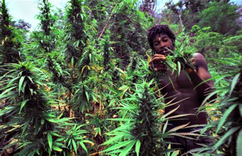 Expungement Of Criminal Record In Jamaica Jamaica Closer To Marijuana Decriminalization Canna Magazine