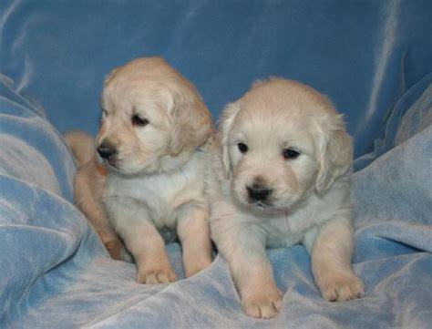 golden retriever puppies in wi golden retriever puppies in wisconsin