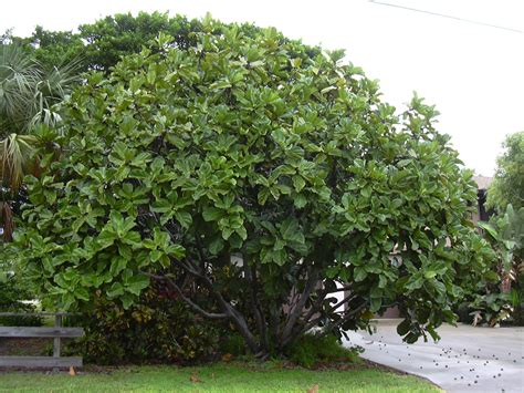 fiddle fig tree houseplants how to prune a fiddle leaf fig tree gardening landscaping stack exchange