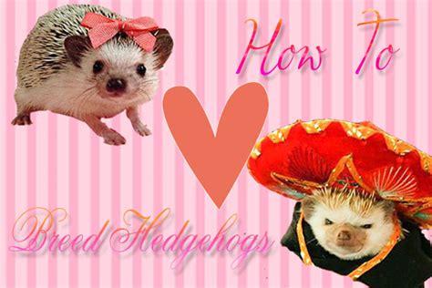 how much do breeders make make your own diy hedgehog cage hedgehog as pets