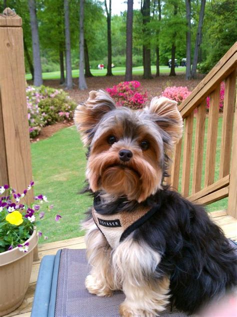 yorkie haircuts for a silky coat yorkie coat types yorkie coat types yorkie w beautiful