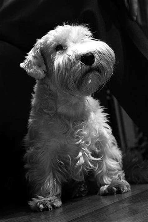 73 best Sealyham Terrier images on Pinterest