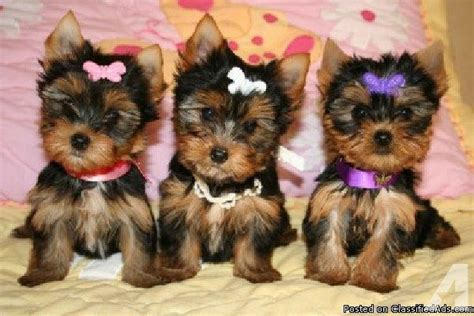 adopt a baby yorkie doll baby t cup yorkie puppies for adoption for sale in syracuse new york