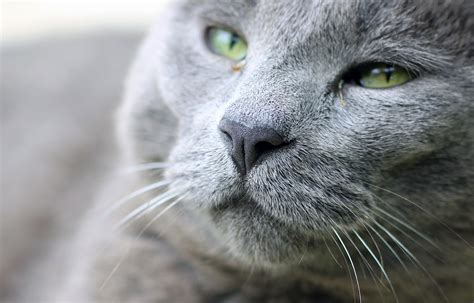 cat nose whiskers free photo cat nose whiskers gray free image