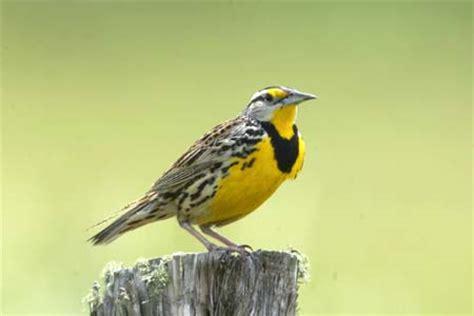 american robin, kingbirds, bluebirds and chickadees of