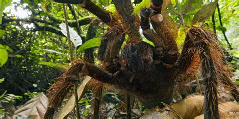 puppy sized spider puppy sized spider makes us want to cuddle photos