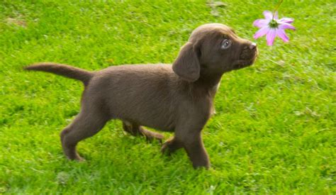 for puppies to springador puppies for sale boston lincolnshire pets4homes
