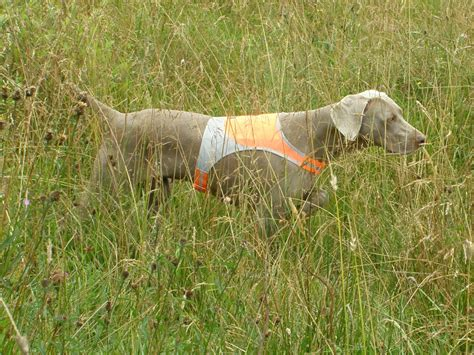gwt themes gallery gallery hunting weimaraner