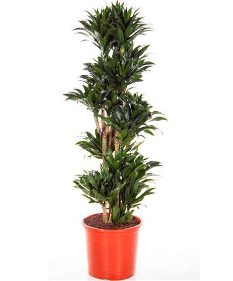 drachenbaum dracaena fragrans tronchetto della felicit 224 dracaena fragrans o deremensis