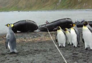 bloody penguin swing penguins stumped by a rope video ebaum s world