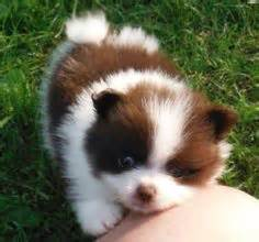 pomeranian puppies that look like pandas for sale pomeranian puppy she looks like a panda anthropology animals