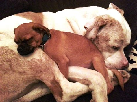 canine comforts a dog named charlie gives comforting snuggles to other