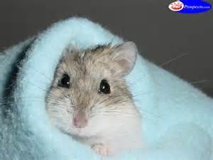 fond d cran hamster gratuit fonds cran rongeurs hamsters
