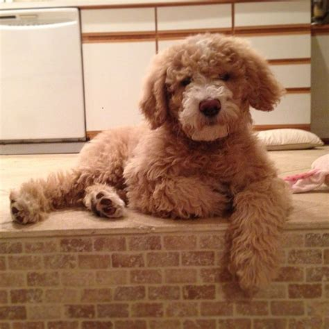 poodle terrier lifespan 158 best images about puppy on poodles