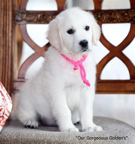 white golden retriever puppies nc the 25 best white golden retrievers ideas on golden retriever