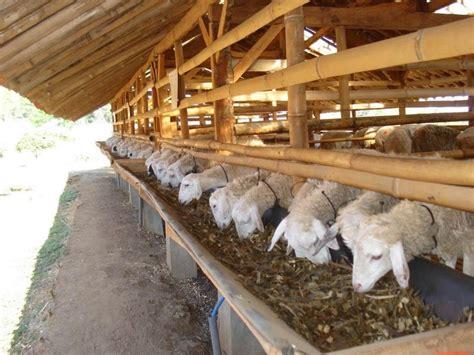 Jual Bibit Kambing Gibas Jogja 4 cara ternak kambing modern jawa gibas teruh bagi