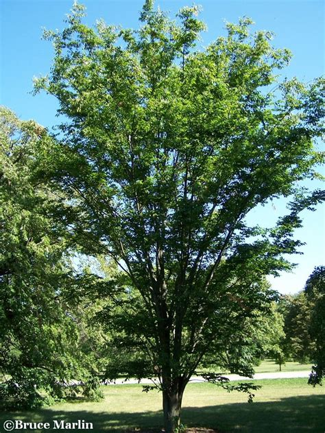 Green Vase Zelkova Problems by Zelkova Serrata Green Vase Related Keywords Zelkova