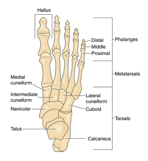 paw anatomy anatomy of the foot ballet news from the stage bringing you ballet insights