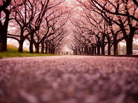 significato fiori ciliegio ciliegio in fiore significato fiori ciliegio in fiore