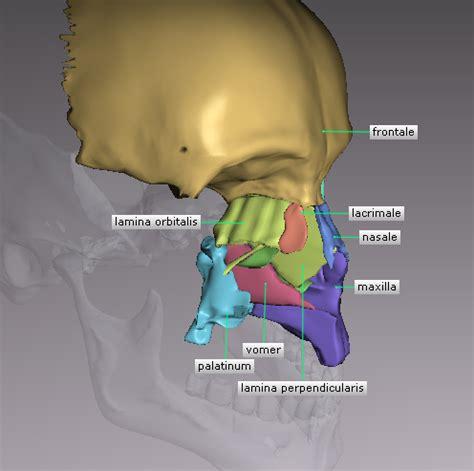 vomer bone | created in anatomylab iii by next dimension