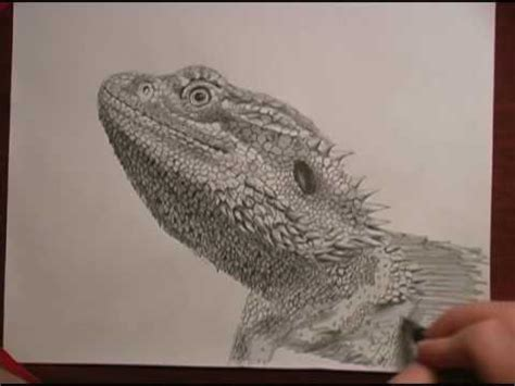 bearded dragon speed drawing youtube