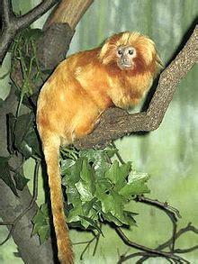 alimentazione scimmie leontopithecus rosalia